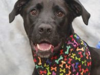 Sassy is a very sweet and friendly 2 year-old Black Lab mix female with long legs and a slim build. She was adopted from a county dog shelter as a puppy but recently returned due to her owner's health problems. […]