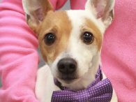 Little dog fans are going to be head over heels for Scooter, our 4 year-old Chihuahua/Jack Russell Terrier mix neutered male. He came to us from an overcrowded rural county dog shelter so we have no history on his previous […]