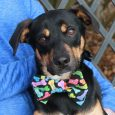 Meet Trek, a handsome and outgoing 8-9 month-old Beagle/Shepherd mix male who is a friend to everyone he meets. This fun-loving pup was turned into an overcrowded county dog shelter by his family before the holidays. We don't know why […]