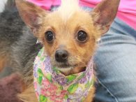Trudy is a very lovable 4-6 year-old Yorkie/Chihuahua mix female with quite the hairdo! Some people whe've met her think she also resembles a Chinese Crested with her natural blonde and very impressive mohawk! Trudy was found as a stray […]
