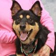 This bright-eyed and alert girl is Dixie, a 1.5 year-old who looks like a mix of Australian Kelpie and Shepherd. She was turned into an overcrowded county dog shelter by her owner who could no longer care for her. We […]
