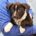 Hershey is a gorgeous 10-12 week old pup who came into an overcrowded shelter as a stray along with her three littermates. As they were likely abandoned, it wasn't a surprise when they weren't claimed at the shelter. From there, […]