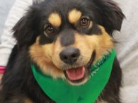 Patch is an adorable 2 year-old girl who looks like a mix of Aussie, Flat-coated Retriever, and English Shepherd. She looks like a Teddy Bear and is on the short and stocky side weighing in at only about 36 pounds. […]