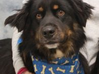 Rubble has it all—great looks and a fantastic disposition! This handsome 2 year-old Flat-coated Retriever/Aussie/English Shepherd mix neutered male lost his home along with his sister Patch when his family was no longer able to care for them. They both […]