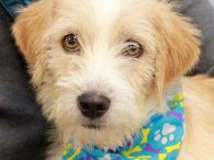 This adorable 1 year-old with the scruffy look and curly tail is Tucson. We don't have any history on Tucson beyond that he came to us from a hoarding situation where he lived with many other dogs. Fortunately for Tucson […]