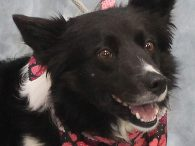 If you love Border Collies, you're going to want to meet Abby, a beautiful but very camera-shy 5-6 year-old spayed female. She was surrendered to an overcrowded county dog shelter by her owner who could not keep her any longer. […]