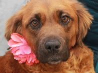Amber is a kind, gentle, and lovely 4 year-old Golden Retriever/Boxer mix (or at least that's our best guess!) girl who came into an overcrowded rural county dog shelter along with her three pups. She has a beautiful soft […]