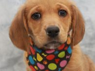 Claire is an absolutely adorable Retriever/Hound mix pup who came into an overcrowded county dog shelter along with her two sisters Erin and Meara as well as her mom Amber. The whole family came to Canine Lifeline so they could […]