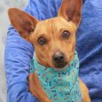 This super-cute and confident 1-2 year-old Chihuahua mix male is Dublin. This little guy lost his home when his owner could no longer care for him so made the trip to Canine Lifeline so that he could relax in a […]