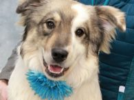 Elsie is a gorgeous 1 year-old Aussie mix female with a beautiful white coat reminiscent of a Great Pyr. She was surrendered to a shelter by her family who said she had separation anxiety and hated to be crated. She […]