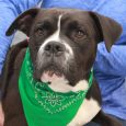 Fergus is one big marshmellow of a dog! We just can't say enough good things about this 1-2 year-old Boxer mix boy. He found himself homeless at an overcrowded rural county dog shelter along with his brother Angus and Boxer […]