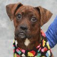 Fiona is an absolutely adorable 7-8 month-old Boxer mix female with some big paws she still needs to grow into. This sweet girl came to us from a county dog shelter after being surrendered by her owner who didn't have […]
