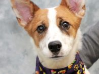 Oh my, what big ears you have Halo! This 8 month-old Jack Russell/Cattledog mix girl still has some growing to do but we doubt if she'll ever catch up to those impressive ears! Halo was an owner surrender at an […]
