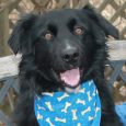 Hank is a very handsome 2 year-old Flat-coated Retriever/Border Collie mix male with a great disposition. He was adopted from a shelter but returned after a brief stay in his new home because he was too active for his family. […]