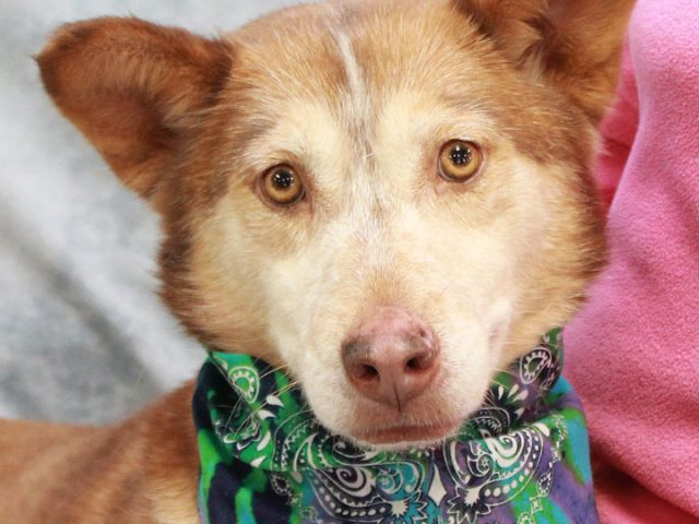 Hazel is a beautiful 4 year-old Husky mix female who was found as a stray in late November in very poor condition. It appeared that she had been on her own for some time as she was very shy […]