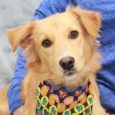 How in the world did this little guy end up at a county dog shelter as a stray? We're really scratching our heads on this one as this adorable 8 month-old Retriever/Sheltie mix pup was indeed an unclaimed stray at […]