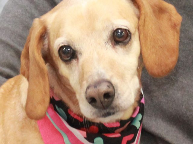 This lovely lady is Honey, a 6 year-old Beagle/Yellow Lab mix who was found abandoned in a rural area and taken to the local shelter. She came into the shelter limping on one of her back legs from what looked […]