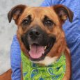 Looking for a friendly, affectionate, easy-going, go-with-the flow kind of dog? That's our boy Killian, a 3 year-old mix of what looks to us like Shepherd and Boxer—yes, there is a slight underbite! He was adopted from a shelter but […]