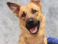 Laramie is a beautiful 3 year-old German Shepherd mix female whose owner abandoned her with a family member who was not able to care for her. She ended up at a shelter and from there made the trip to […]