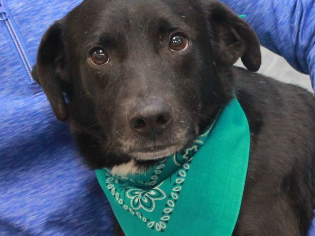 Owen is a very sweet and loving 1-2 year-old Lab mix male who had a rough start in life but isn't letting that get him down. Owen and his brother Shelton were two of many dogs who were rescued from […]