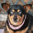 Meet Rooney, a sweet chubby 3 year-old Doxie/Chihuahua mix spayed female with beautiful blue eyes who was surrendered to a county dog shelter by her family who could no longer keep her. We don't know why she lost her home […]