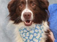 Love Aussies? Then you need to meet our Sadie. This beautiful and very camera-friendly girl found herself at a high-kill rural county dog shelter. We don't know whether she came into the shelter as a stray or was an owner […]