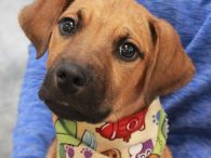 This adorable 4-5 month-old long-legged Shepherd/Hound mix puppy is Scrappy Doo. He was adopted from a shelter and was in his new home for a week or two before being returned to the shelter. We don't know happened in his […]