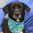 Shelton is a handsome 5-6 year-old Lab mix male who came to Canine Lifeline along with his pal Owen after they were rescued from a hoarding situation by the local county dog shelter. In spite of having been neglected in […]