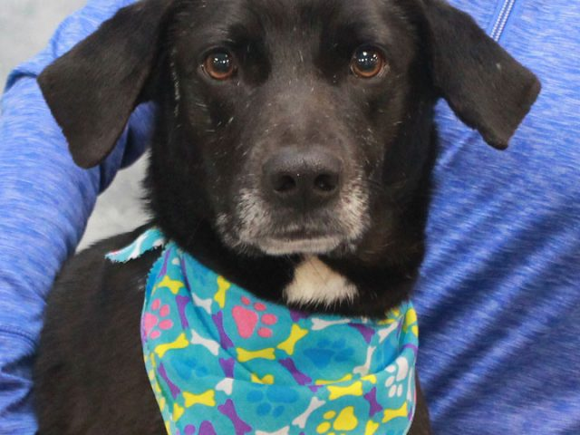 Shelton is a handsome 1-2 year-old Lab mix male who came to Canine Lifeline along with his brother Owen after they were rescued from a hoarding situation by the local county dog shelter. In spite of having been neglected in […]