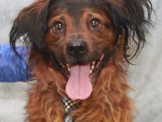 Travis is an active and energetic 1 year-old Field Spaniel mix male who came into an overcrowded rural county dog shelter as a stray and when he wasn't claimed, he made the trip to Canine Lifeline to find himself […]