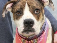 Addie is a very kind, gentle, and affectionate 2 year-old American Bulldog/Boxer mix girl. She was sitting in an overcrowded county dog shelter waiting for a home when a shelter volunteer pulled her to foster her and find a rescue […]