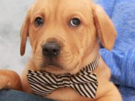 Dodger is a sweet and loving 10 week old Lab mix pup who came to Canine Lifeline along with his two twin brothers Homer and Popfly. A rescuer who we work with brought these boys to our attention. They were […]