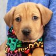 Homer is a charming 10 week old Lab mix pup who came to Canine Lifeline along with his two twin brothers Popfly and Dodger. A rescuer who we work with brought these boys to our attention. They were born on […]