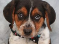 Hudson is a gorgeous Beagle mix pup who is one of a litter of 6 who were turned into a high kill county dog shelter. We don't know if they came in as strays or owner surrenders but fortunately a […]