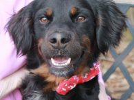 Jordan is a very handsome 1 year-old Setter/Spaniel mix male with a fantastic disposition. We don't have any history on this boy as he came to us from an overcrowded county dog shelter but we've been very impressed with him […]