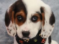 Moose is a super-cute Beagle mix pup who was one of a litter of 6 who were turned into a high kill county dog shelter. We don't know if they came in as strays or owner surrenders but fortunately a […]