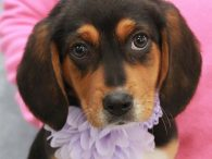 Myrtle is an adorable Beagle mix pup who is one of a litter of 6 who were turned into a high kill county dog shelter. We don't know if they came in as strays or owner surrenders but fortunately a […]