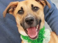 You can't go wrong with this girl in your line up! Phillie is a fantastic 1 year-old Shepherd/Boxer/Lab/you-name-it mix who's got it all—great looks and a fabulous disposition! She was found as a stray but no owner came to claim […]