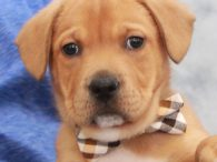 Popfly is an adorable 10 week old Lab mix pup who came to Canine Lifeline along with his two twin brothers Homer and Dodger. A rescuer who we work with brought these boys to our attention. They were born on […]