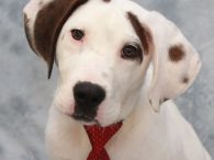 Meet Scout, an absolutely adorable 4-5 month-old Hound mix pup who makes fast friends wherever he goes. This very photogenic pup (he loves the camera!) came to us as a skinny puppy from an overcrowded county dog shelter. We have […]