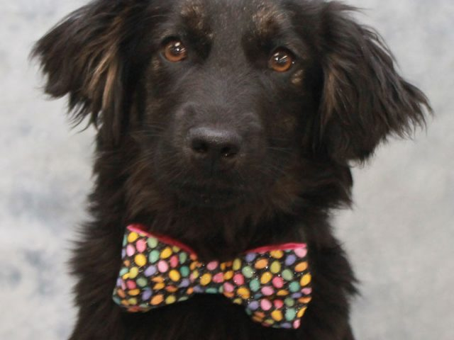 We're pretty sure you won't find a sweeter dog than Weber! This gorgeous 7 month-old Retriever mix pup had a very rough past but that sure hasn't dampened his love for people and enthusiasm for life in general. Weber was […]