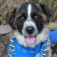 If you love large dogs, you will want to meet Zina! This beautiful 1 year-old Saint Bernard/Shepherd mix female has a sweet and loving disposition to go with her good looks. We don't have any history on her previous life […]