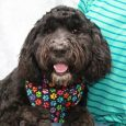 Booker is an adorable 9-10 month-old Poodle/Old English Sheepdog mix neutered male who was surrendered by his owner who didn't have enough time for this pup. A good Samaritan fostered him so that he didn't have to sit in the […]
