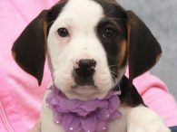 Geneva is a sweet and charming Hound/Lab mix pup who was found abandoned with her four siblings and taken to the local shelter. From there, they made the trip to Canine Lifeline so they would be able to enjoy life […]