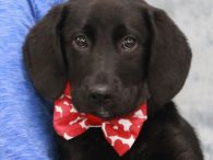 Meet Hennessey, a sweet and loving 4 month-old Lab mix male who just couldn't be any nicer. This pup was an owner surrender at an overcrowded county dog shelter and came to Canine Lifeline so he could have fun in […]