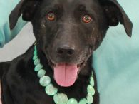Molly is a very outgoing and friendly Doxie/Lab mix spayed female who wants to be the life of the party. She was an owner surrender at an overcrowded county dog shelter when her owner could no longer care for her. […]