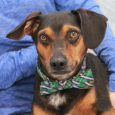 Tony is a friendly and outgoing 5 year-old Beagle/Doxie mix neutered male who was surrendered to a county dog shelter by his owner who could no longer care for him. We don't know what circumstances caused Tony to lose his […]