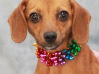 If you're looking for a little dog who's got the spunk and stamina to keep up with the big dogs, say hello to Toodles! This pint-sized 1.5 year-old Doxie/Chihuahua mix female is like the Energizer Bunny—it takes a lot to […]