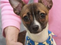 Brownie is a bright-eyed and alert 1.5 year-old Chihuahua mix male who's still very much of a puppy. He was an owner surrender at an overcrowded county dog shelter and made the trip to Canine Lifeline so he would have […]