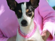 Dani is a very sweet and lovable little 2 year-old Rat Terrier mix girl who came to Canine Lifeline from an overcrowded county dog shelter so she would be able to relax in a foster home while searching for a […]